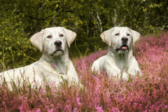 Two cute labrador dog puppies on meadow with purple flowers Royalty Free Stock Photography