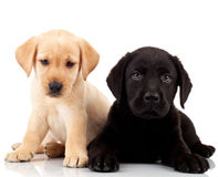 Two cute labrador puppies. Both very sad , looking at the camera Stock Photos