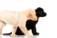 Two cute labrador puppies Royalty Free Stock Image