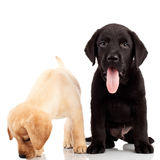 Two cute labrador puppies Royalty Free Stock Photos