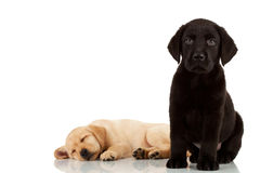 Two cute labrador puppies Stock Image