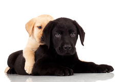 Two cute labrador puppies Royalty Free Stock Photo