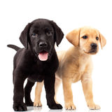 Two cute labrador puppy dogs Stock Image
