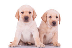 Two cute labrador retriever puppy dogs sitting royalty free stock images