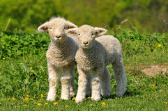 Two cute lambs stock photography