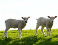 Two cute lambs. Two baby lambs enjoying the spring sun in north England. Photo taken April 2015 Royalty Free Stock Photos