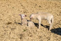 Two cute lambs. On dry soil stock images