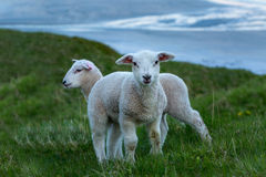 Two cute lambs on the green grass Royalty Free Stock Photos