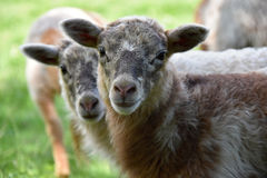 Two cute lambs Stock Images