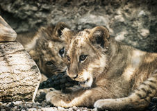 Two cute lion cubs (Panthera leo leo) Royalty Free Stock Images