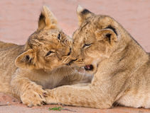Two cute lion cubs playing on sand in the Kalahari. Closeup Royalty Free Stock Photography