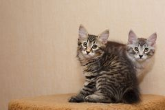 Two cute little bobtail kitten Stock Photos