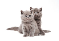 Two cute little british kittens Royalty Free Stock Photography