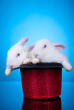 Two cute little bunnies in a hat Royalty Free Stock Photos