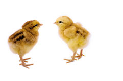 Two cute little chicken Royalty Free Stock Images