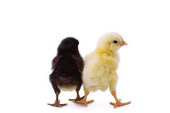 Two cute little chicken Stock Images