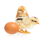 Two cute little chickens and egg Royalty Free Stock Image