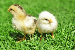 Two cute little chicks stock photography