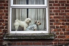 Two cute little dogs looking out a window Royalty Free Stock Photo