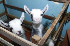 Two cute little goats on the farm, smiling goats Royalty Free Stock Photos