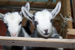 Two cute little goats on the farm, smiling goats Royalty Free Stock Images