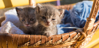 Two cute little kitten in a basket with threads for Knitting Stock Photo
