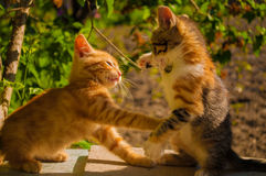 Two cute little kittens chase each other Stock Photo