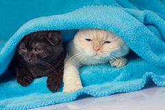 Two cute little kittens. Peeking out from under the soft warm blue blanket Stock Images