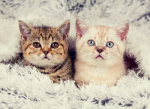 Two cute little kittens. Peeking out from under the soft warm fluffy blanket stock image