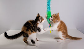 Two Cute little kittens playing Royalty Free Stock Image