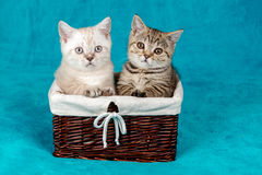 Two cute little kittens. Sitting in a basket royalty free stock images
