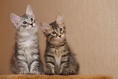 Two cute little bobtail kitten stock photography