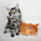 Two cute little kitty Royalty Free Stock Images