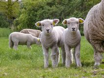 Two cute little lambs standing next to their mother sheep on a green pasture. royalty free stock photo