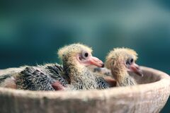 Free Two Cute Little Pigeons Just Born Royalty Free Stock Photo - 192138115
