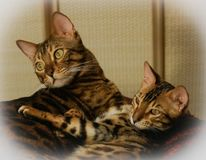 Two cute lovely bengal domestic cat and kitten stock images