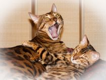 Two cute lovely sleepy bengal domestic cats stock photography