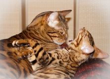 Two cute lovely sleepy bengal domestic cats royalty free stock images