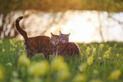 Free Two Cute Lovers Cats Walk Embracing In A Summer Blooming Meadow In The Light Of Warm Sunlight Royalty Free Stock Photo - 182889035