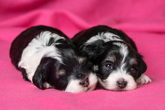 Two cute lying havanese puppies dog on a pink bedspread Stock Images