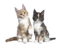 Two cute Maine Coon cat kittens sitting beside on white background. royalty free stock photo