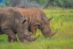 Two cute male bull white Rhino in Kruger National Park. Grazing together royalty free stock photography