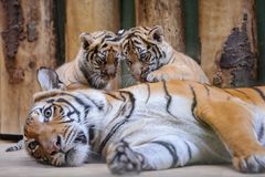 Two cute tiger cubs on lying mother. Two cute malyan tiger cubs on lying their mother stock photography