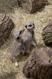 Two cute meercats Stock Photography