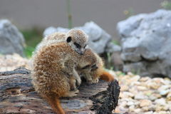 Two cute Meerkats. Tring to keep warm Stock Images
