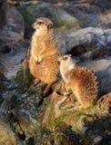 Two cute meerkats. Two cute, brown standing meerkats in wild nature Stock Image