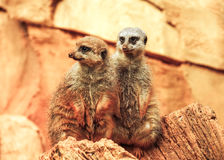 Two cute meerkats are standing on log. Cute couple of meerkats standing on log. Orange colors, sunset lights Stock Photos