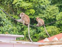 Two Cute Monkey Hanging On Cable in Batu Caves Malaysia. Two Cute Monkey Hanging On Cable in Batu Caves, Malaysia Royalty Free Stock Photo