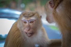 Two cute monkeys communicate with each other in the forest royalty free stock photography
