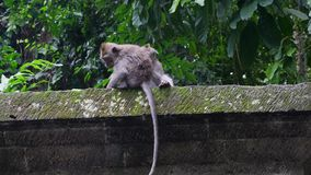 Two cute monkeys in the forest to catch fleas tropical Indonesia. Wild mammals on the exotic island Bali give bright impressions tourists stock video